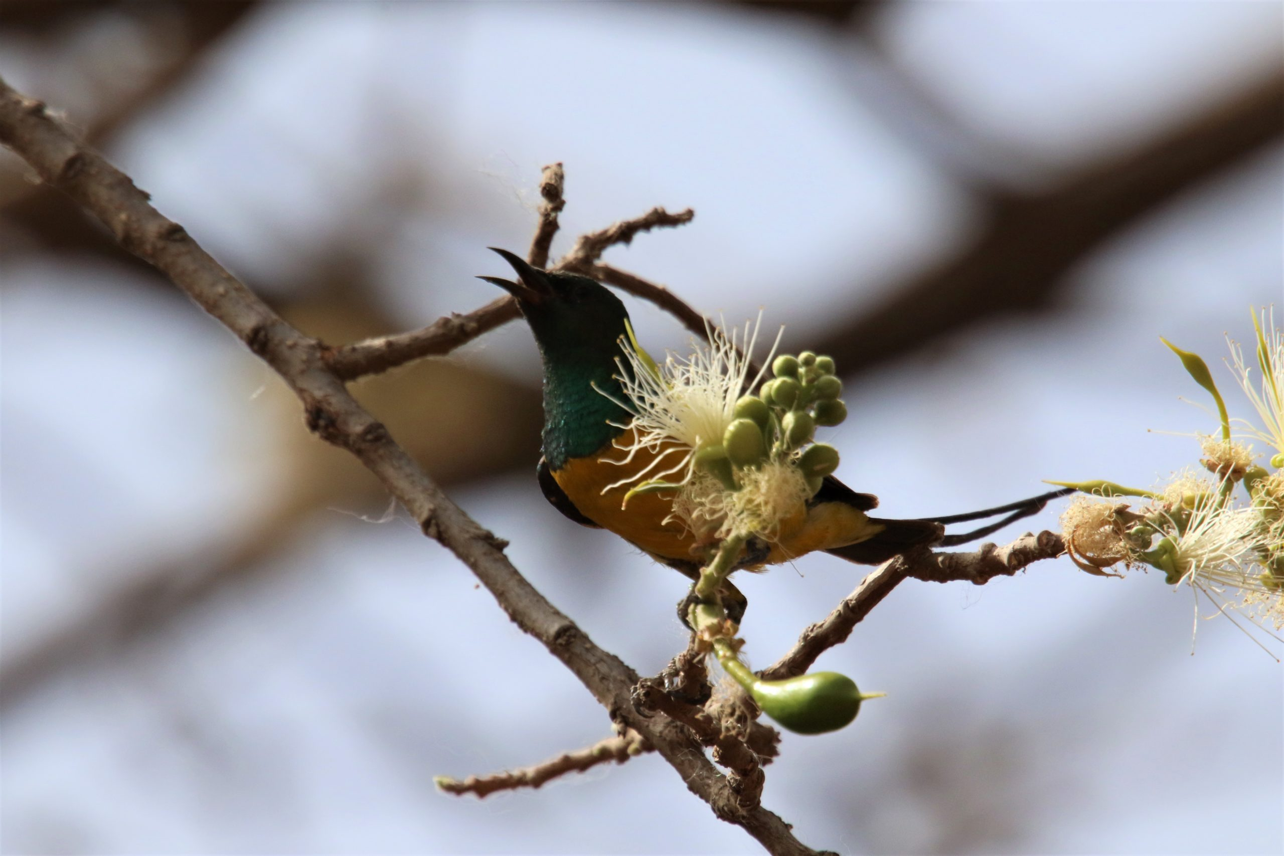 Souimanga pygmée
