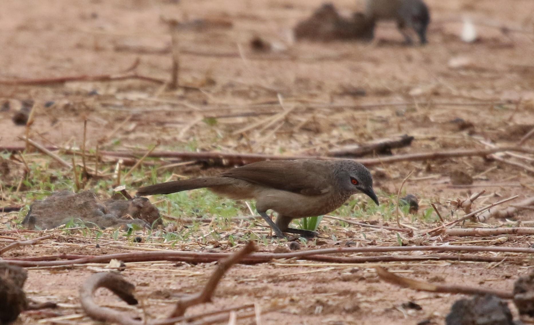 Cratérope brun